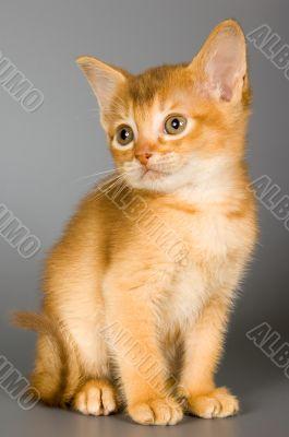Kitten of Abyssinian breed