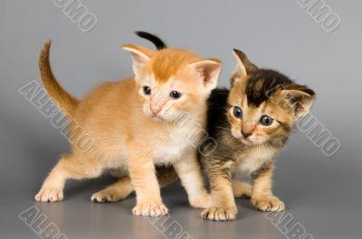 Kittens of Abyssinian breed