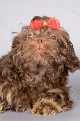 Dog of breed a lap dog