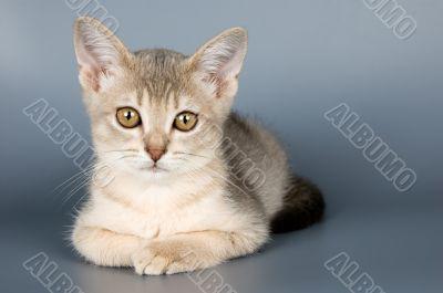 Kitten of Abyssinian breed in studio