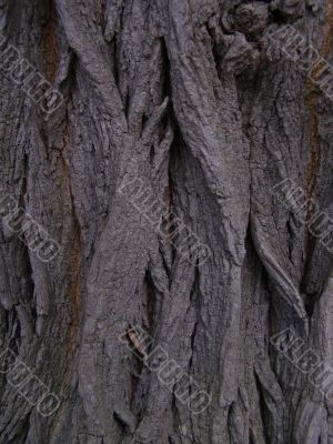 Bark of acacia