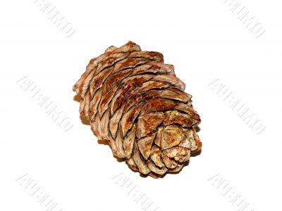 coniferous