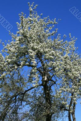 Blossomed pear-tree