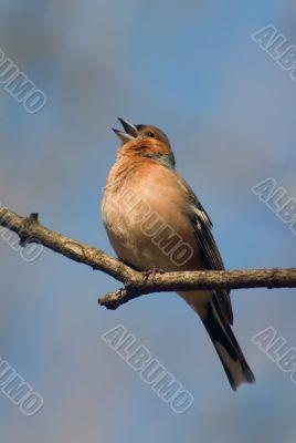 Singing chaffinch bird