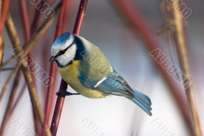 Blue tit in the bushes