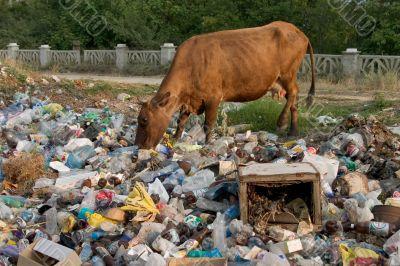 Cow on the dump