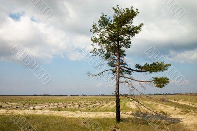 Loneliness pine tree