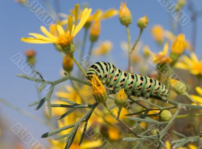 Bright spotted caterpillar
