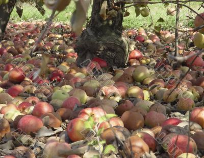 Carpet of apples