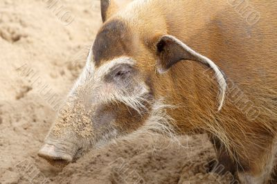 A big wild brown pig