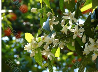 Tangerines. Flowers and fruits