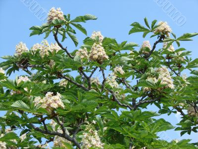 Blossoming tree of a chestnut