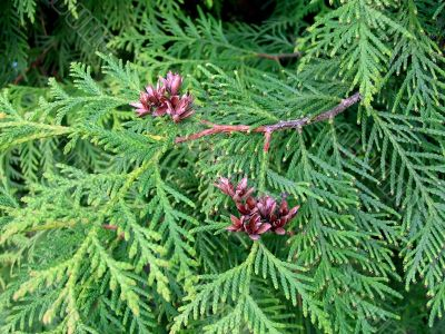 Branches and fruits of a cypress or a thuja
