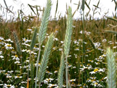 Summer. An ear of wheat on a field.
