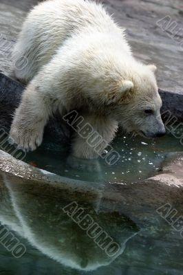 babe polar bears
