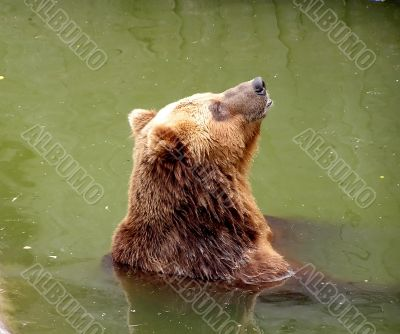 Brown bear in a zoo