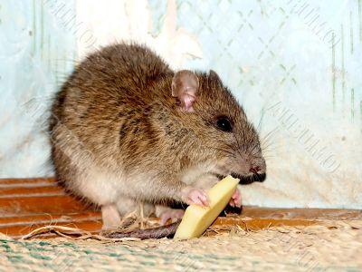Wild grey rat in city.