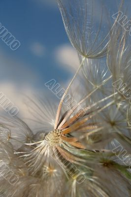 Dandelion and wind