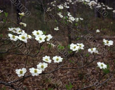 East Texas Dogwood