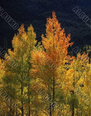 Orange & Yellow Aspens