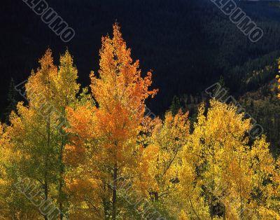 Orange Aspens (H)