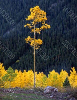 Tall Aspen