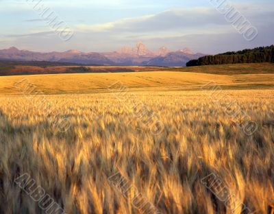 Wheat Field &Teton Range