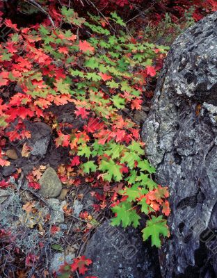 Canyon Maple Leaves & Rock