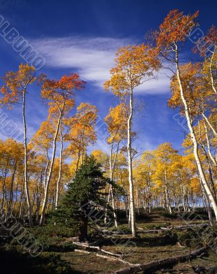 Ashley Forest Aspens