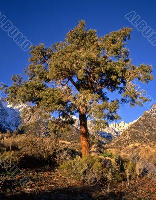 Mt Whitney & Pine Tree