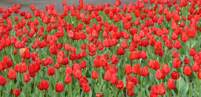 bed of scarlet red tulips