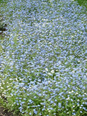 The bed of white blue flowers background