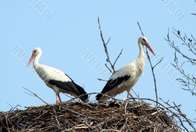 storks couple in nest on blue sky background