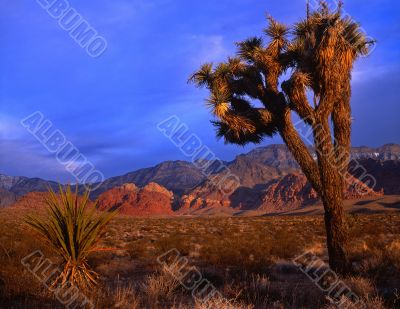 Mojave Yucca #3
