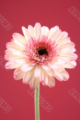close-ups of lovely gerbera isolated