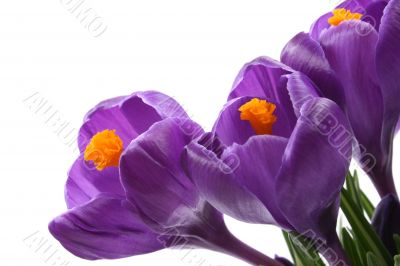 close-ups of lovely crocuses isolated