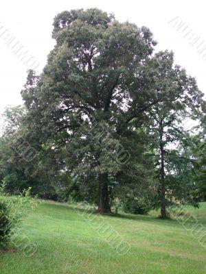 Might Oak