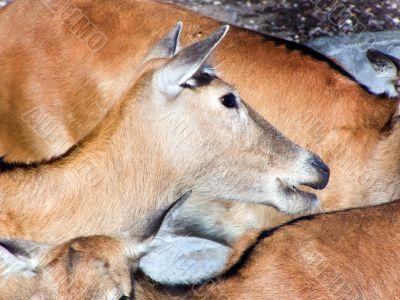 deer, ruminant