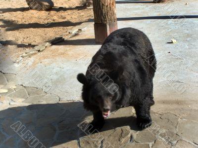 bear, predator
