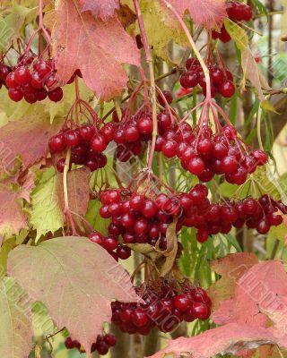 Autumn Snowball-tree Berry Bunch