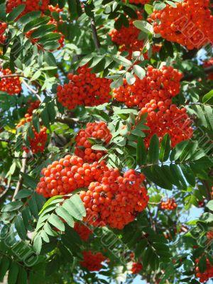 Summer Rowan tree berries clusters