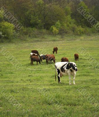 Herd of the cows