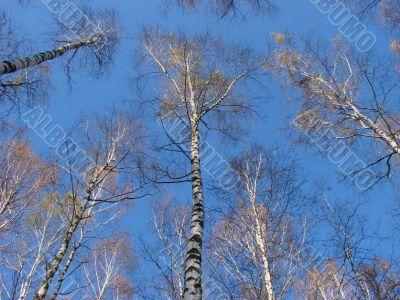 birch tree alley logs upon blue sky