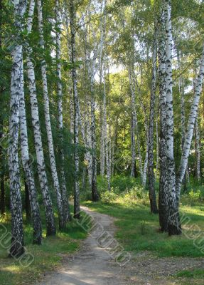 Summer light white green birch trees alley