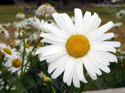 Alone big white daisy wheel