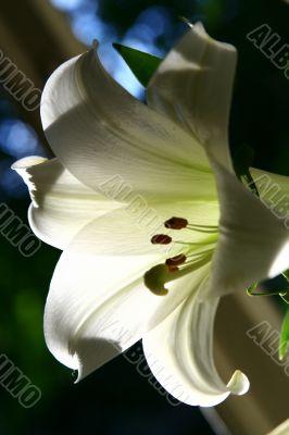 lily at morning