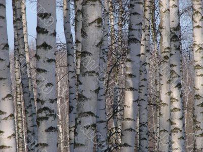 Birch countless tree row