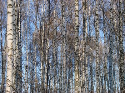 Birch countless tree alley