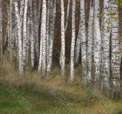 Yellow fall birch alley perspective
