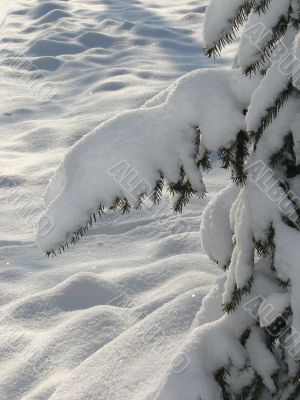Winter snowy landscape with fur-trees